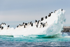 Antarctica cruises from Australia and New zealand, you will no doubt see Adelie penguin on icebergs