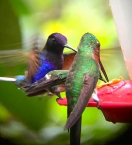 32_HUMMINGBIRD IN MOTION_mashpi