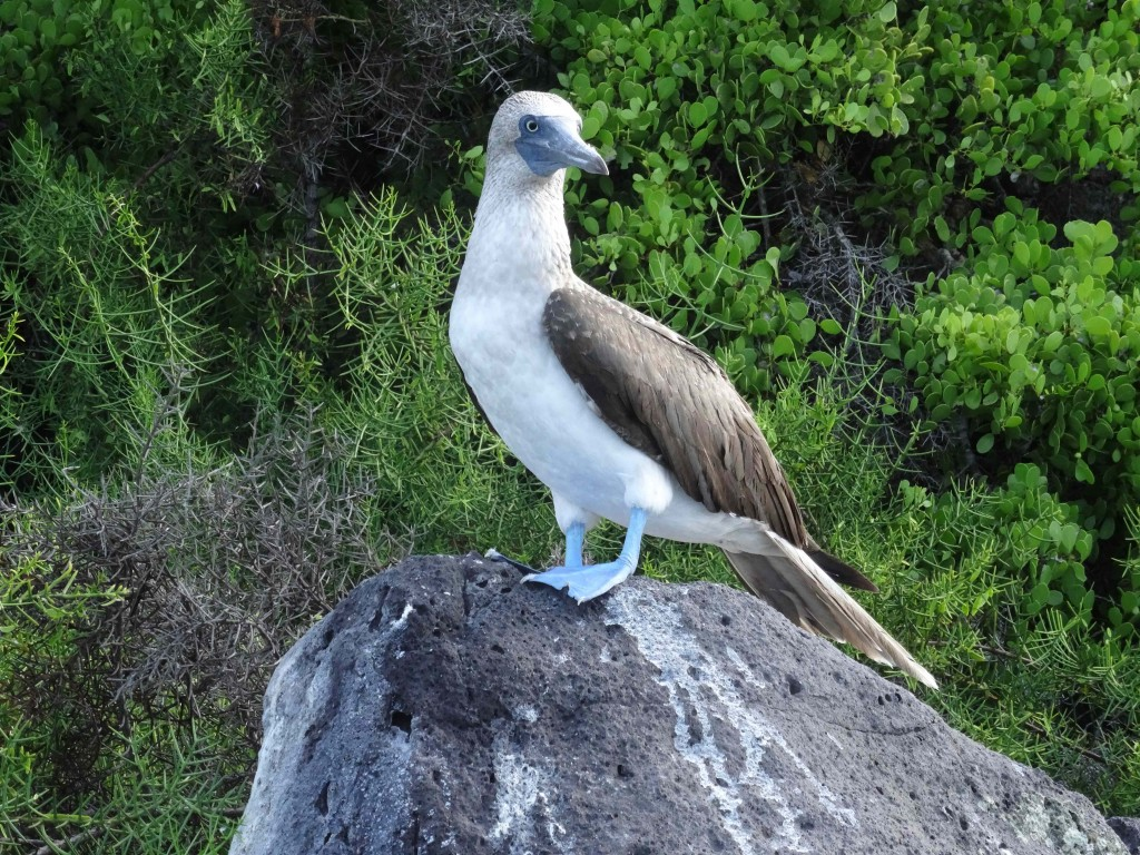 06B_BLUE-FOOT-BOOBY_Galapagos