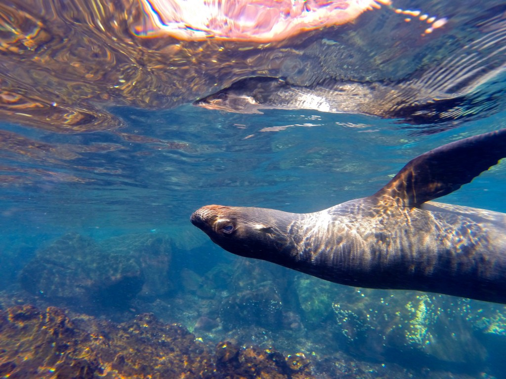28A_SEA LION UNDERWATER A_Galapagos