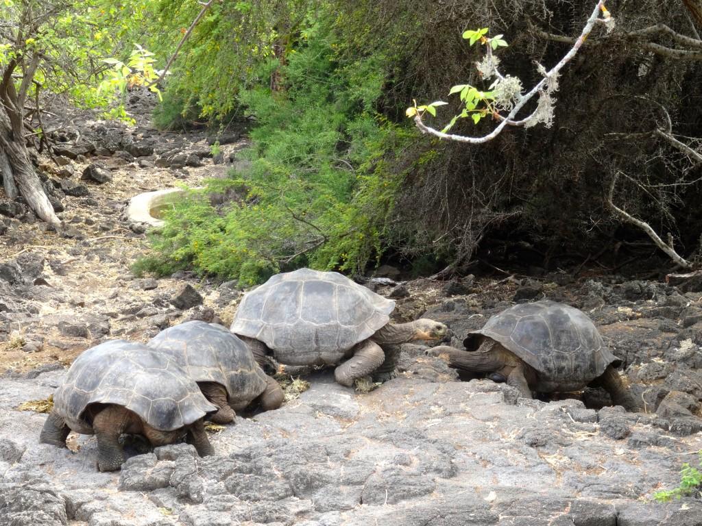 29_GIANT-TORTOISES_Galapagos