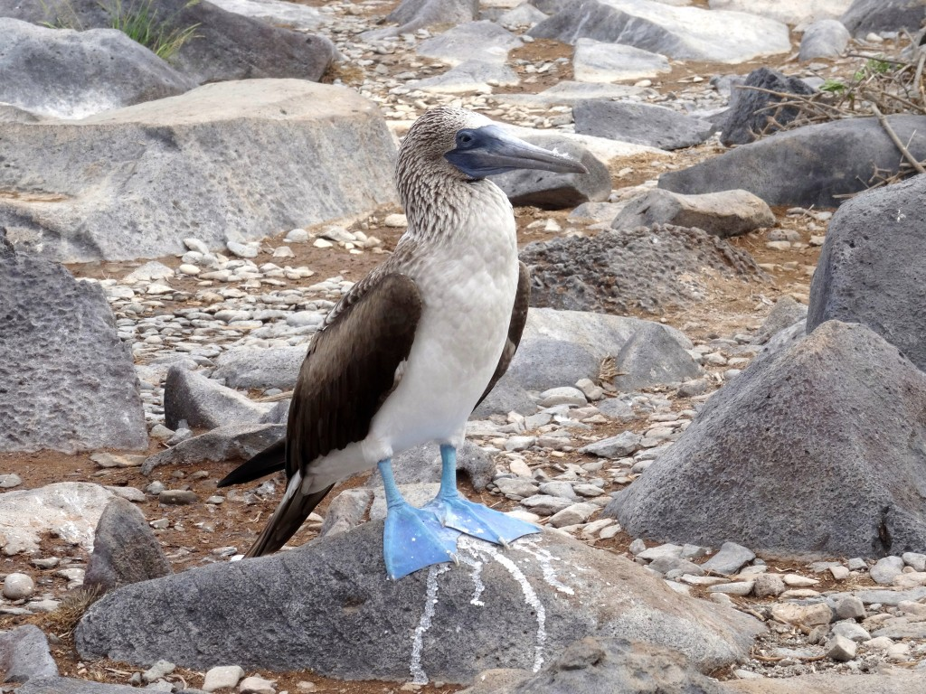 35_BLUE-FOOT-BOOBY_Galapagos