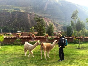 cute llamas being friends with tourists.