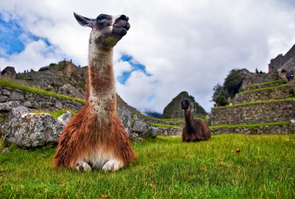Peru_Llama_shutterstock_103428575