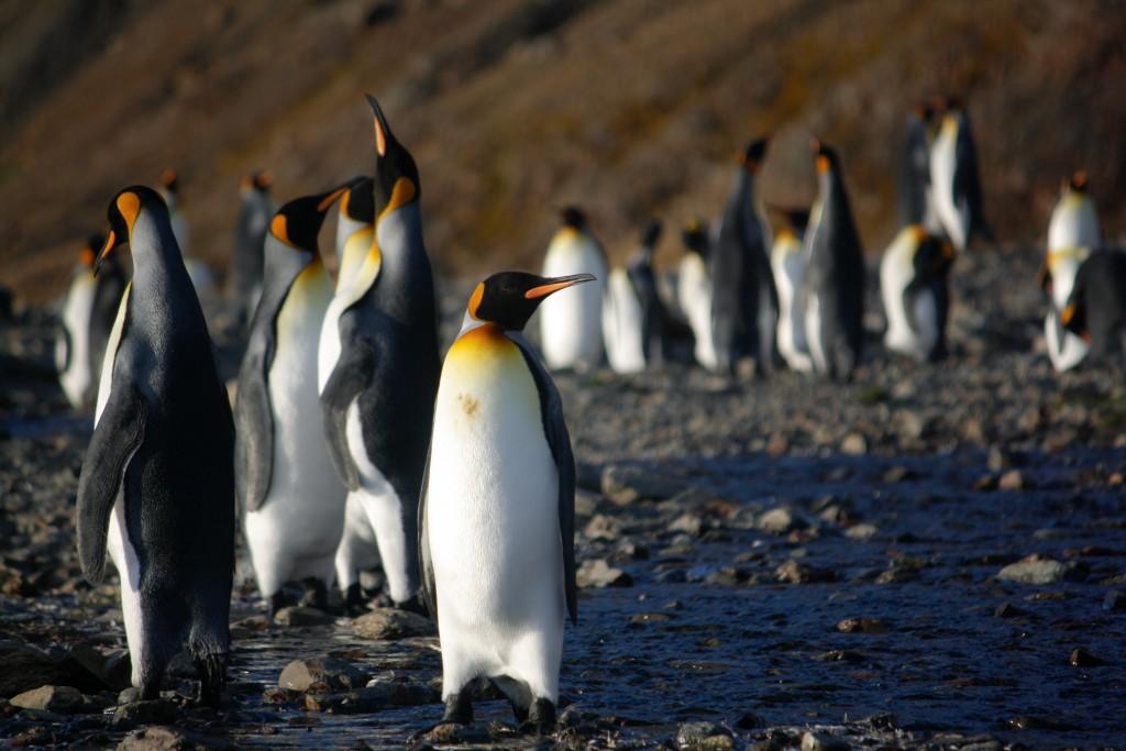 King Penguins on a Sub Antarctic Island