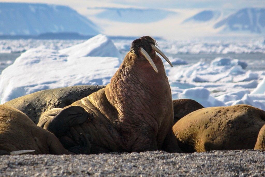 Walrus in the polar region of the Arctic