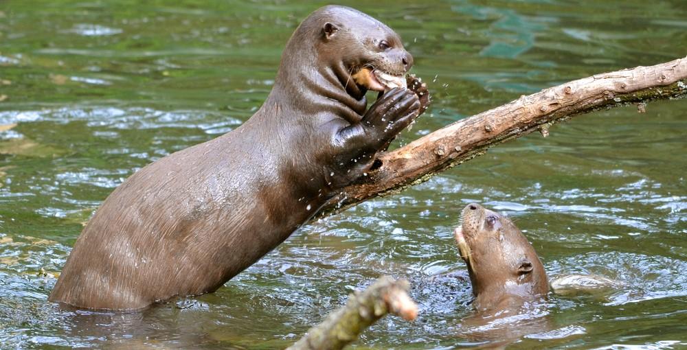 Amazon_Giant_River_Otter_shutterstock_94554097 (2)