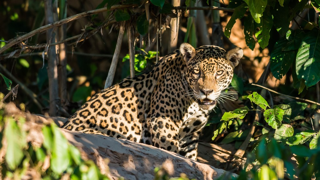 Amazon_Jaguar_shutterstock_161805827 (2)