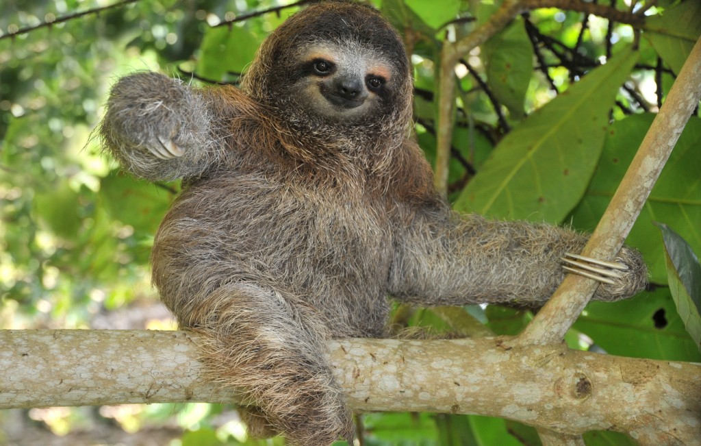 Amazon_Sloth_shutterstock_31538605 (2)