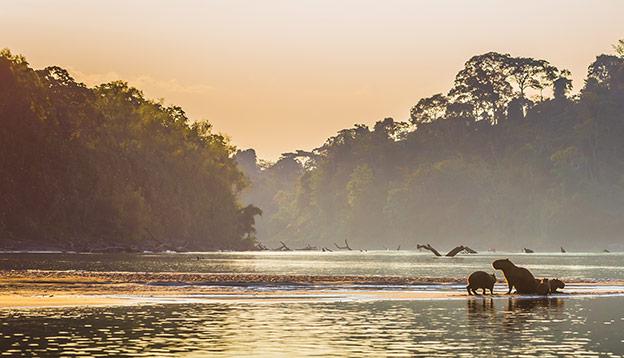 A family of Capybara on the shores of the Amazon