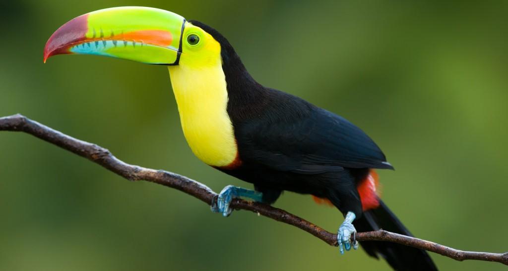 Keel Billed Toucan (2)