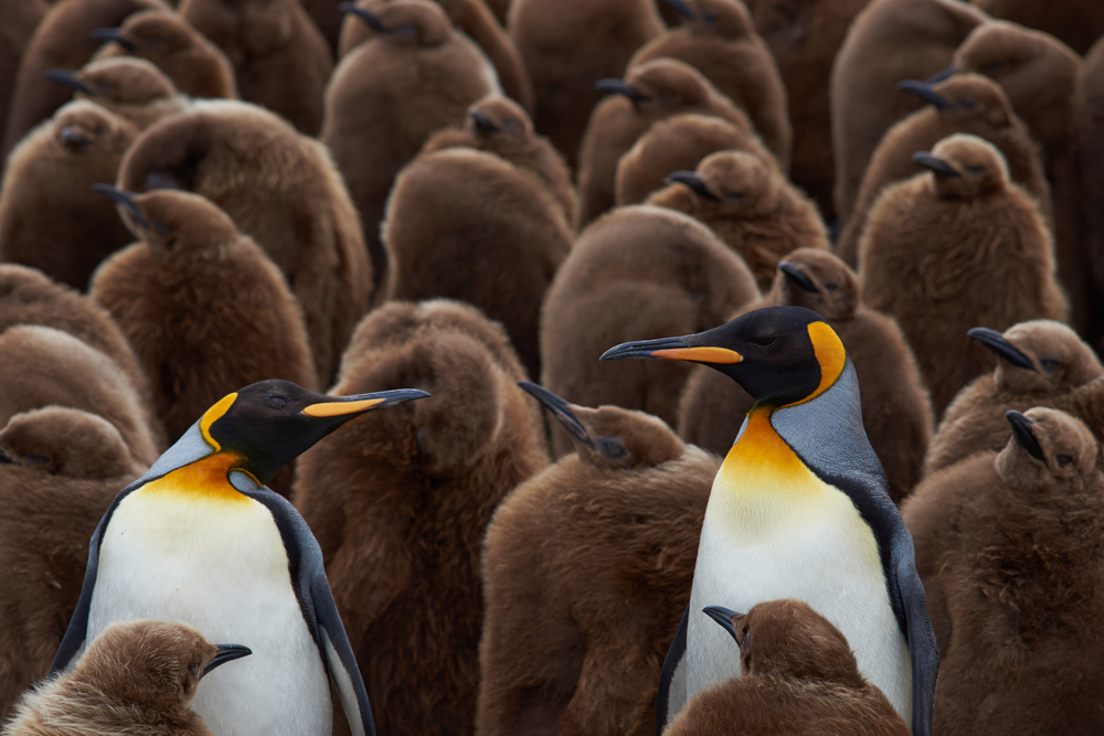 King_Penguin_Chicks_shutterstock_360006182