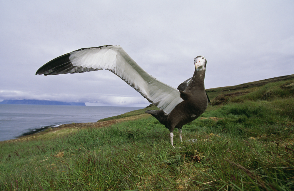 Wandering Albatross 8 Things We Bet You Didn T Know