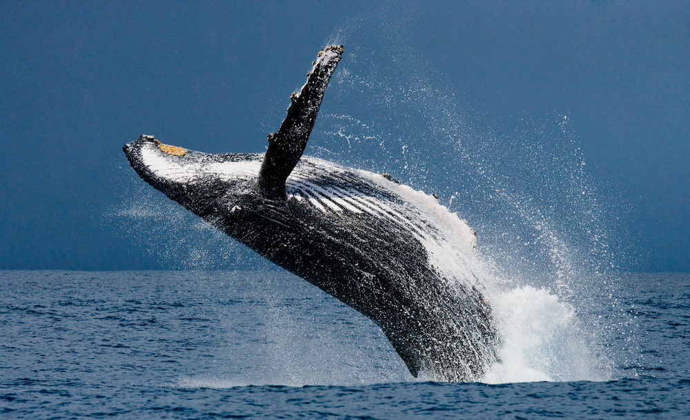 Fun Amp Inappropriate Facts About Antarctic Whales You