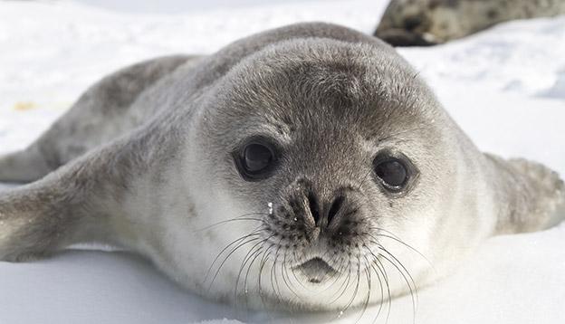 Weddell Seal Pup, Antarctica