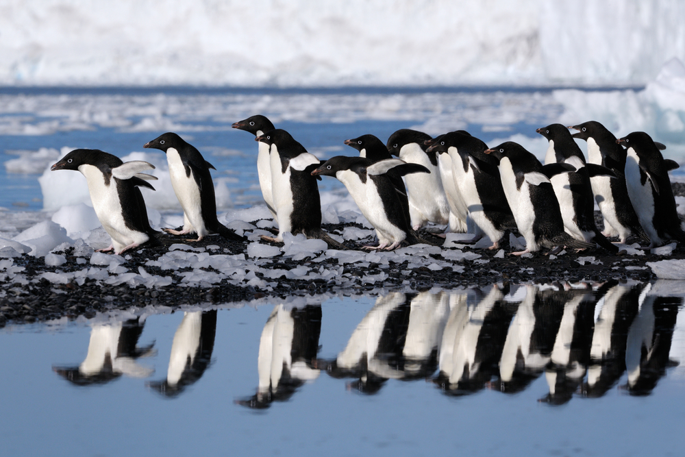 Adelie Penguins walking in Antarctica
