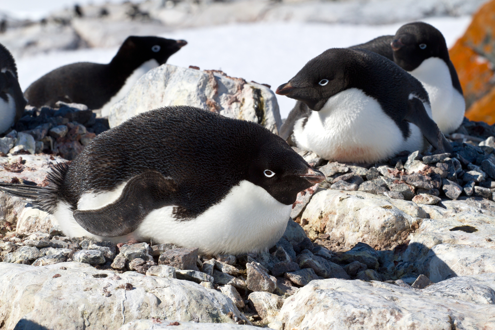 penguins laying eggs