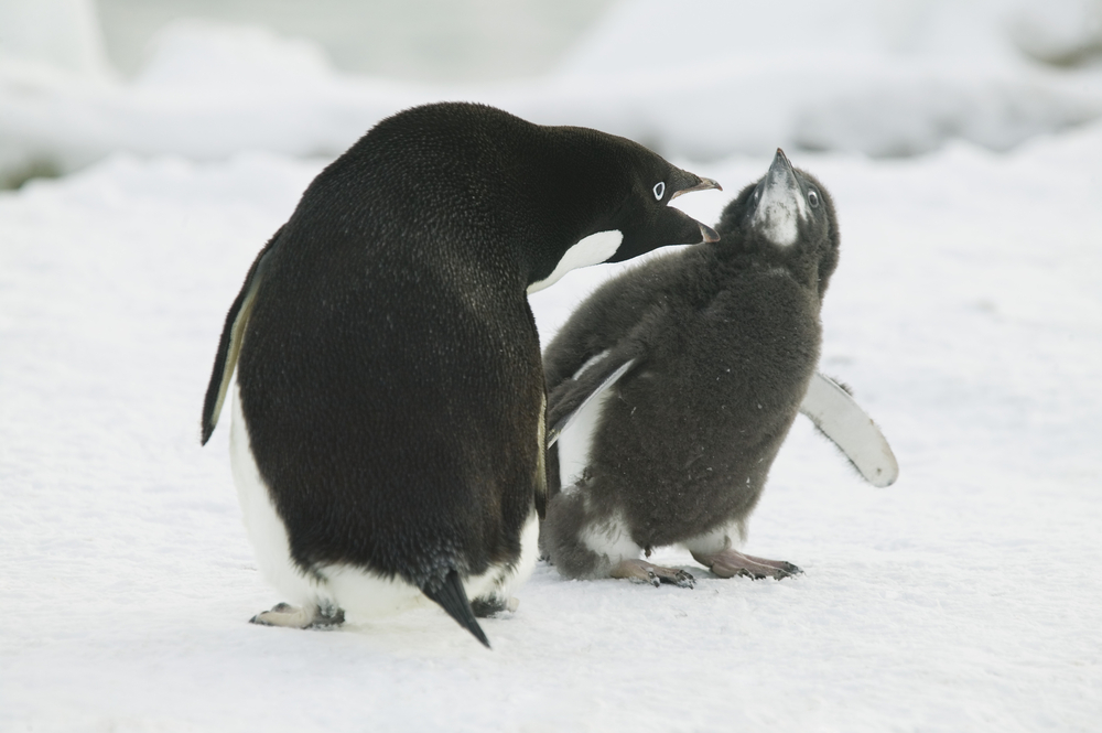 Adelie penguin squawking at chick
