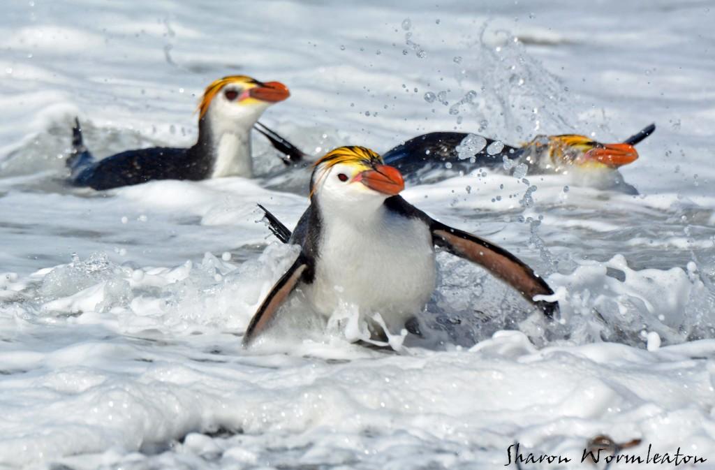 Royal penguins on macquarie island wildlife photography