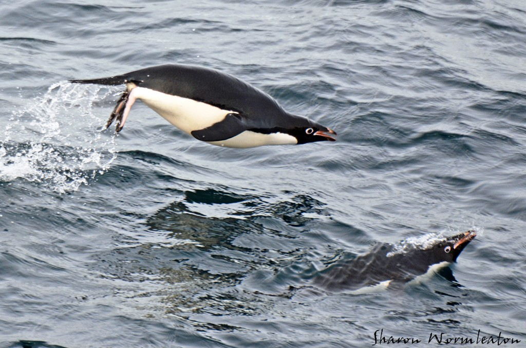 Adelie Penguin mid-air wildlife photography