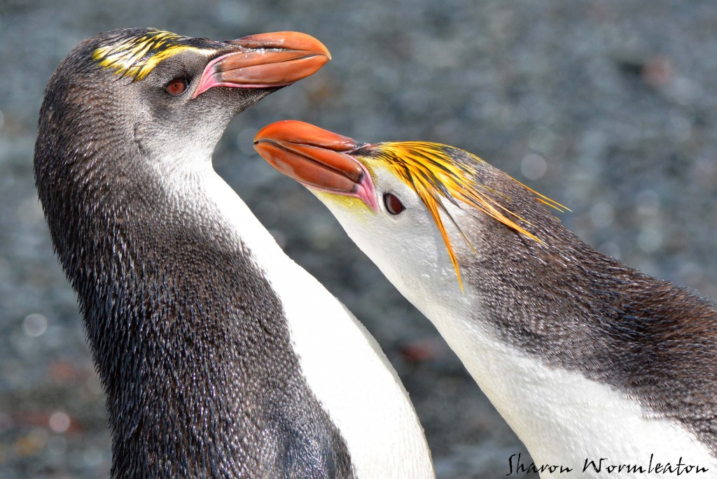 Royal Penguin wildlife photography