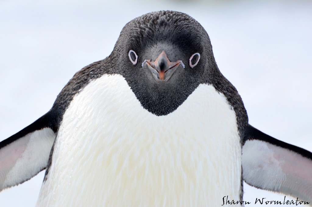 Adelie Penguin close-up wildlife photography
