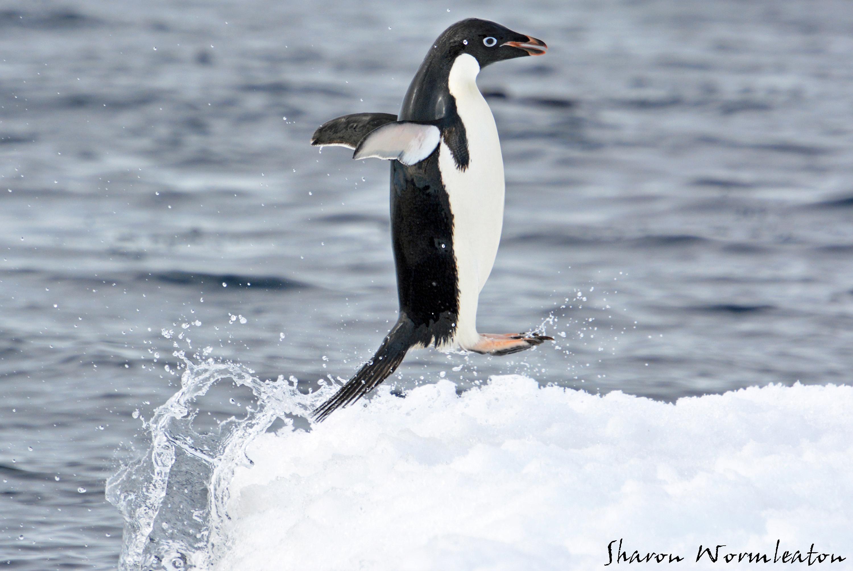 Watch Disturbing Friday Fun: Penguin Batter video