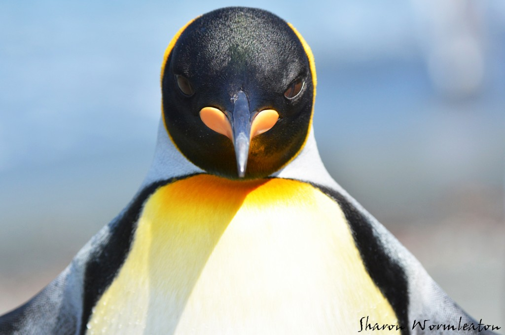 King Penguin wildlife photography