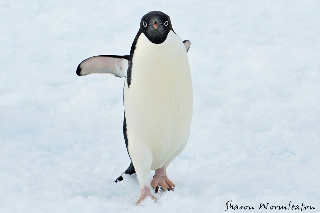 Adelie Penguin wildlife photography