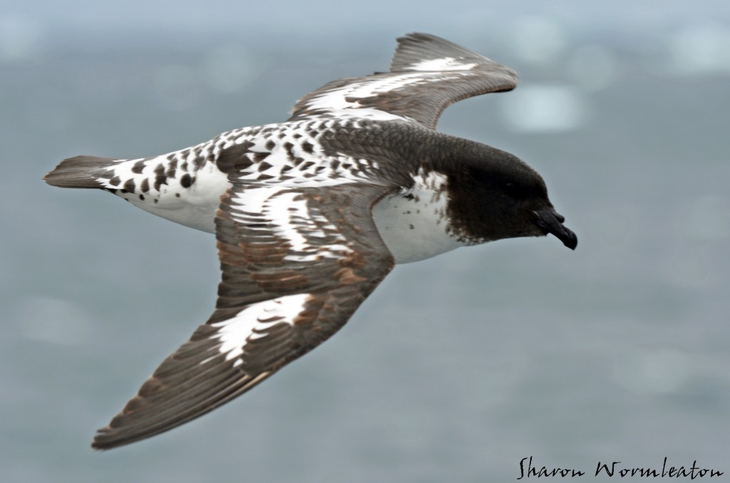Cape Petrel wildlife photography