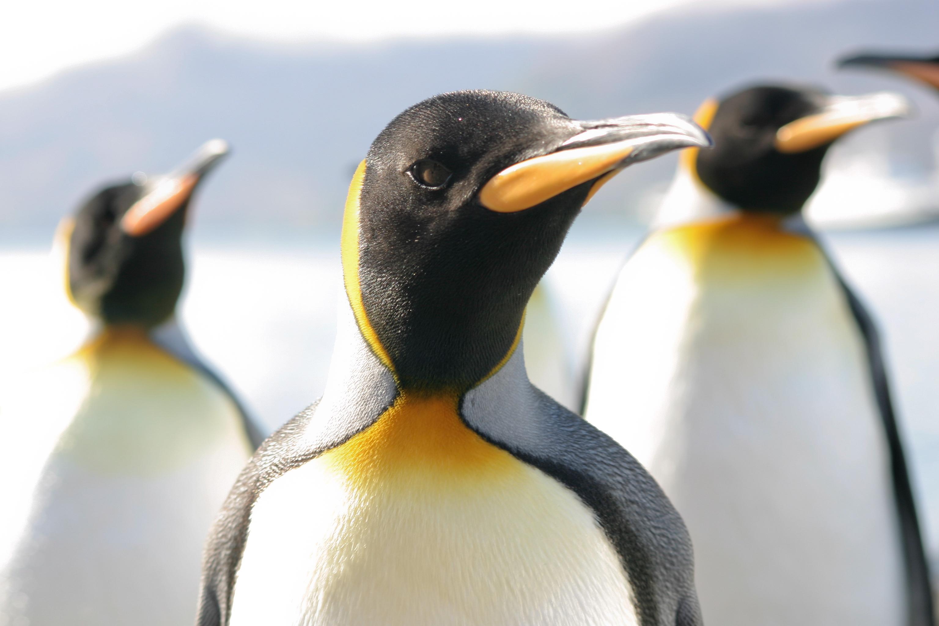 King Penguin Species