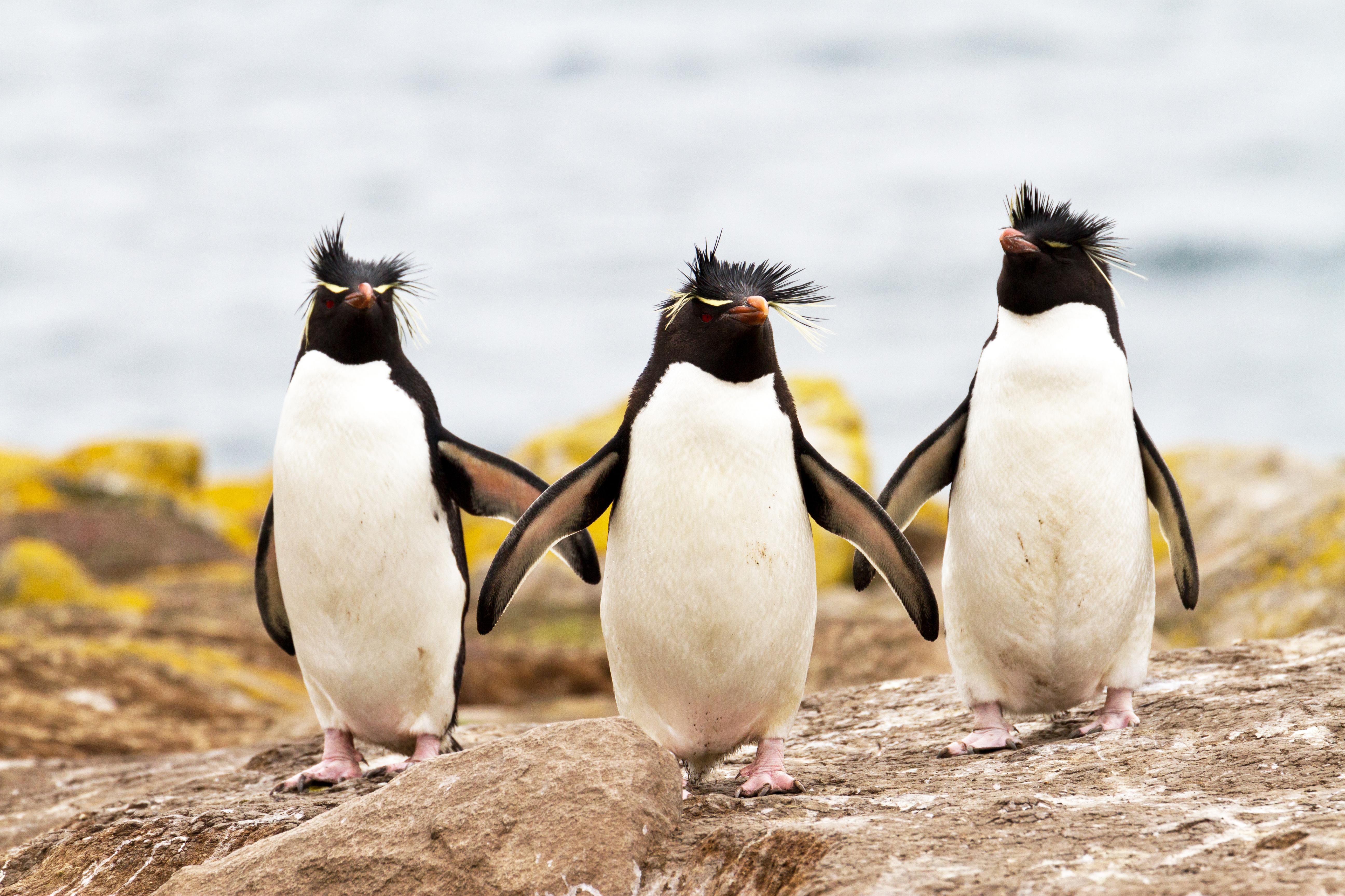Rockhopper Penguins.