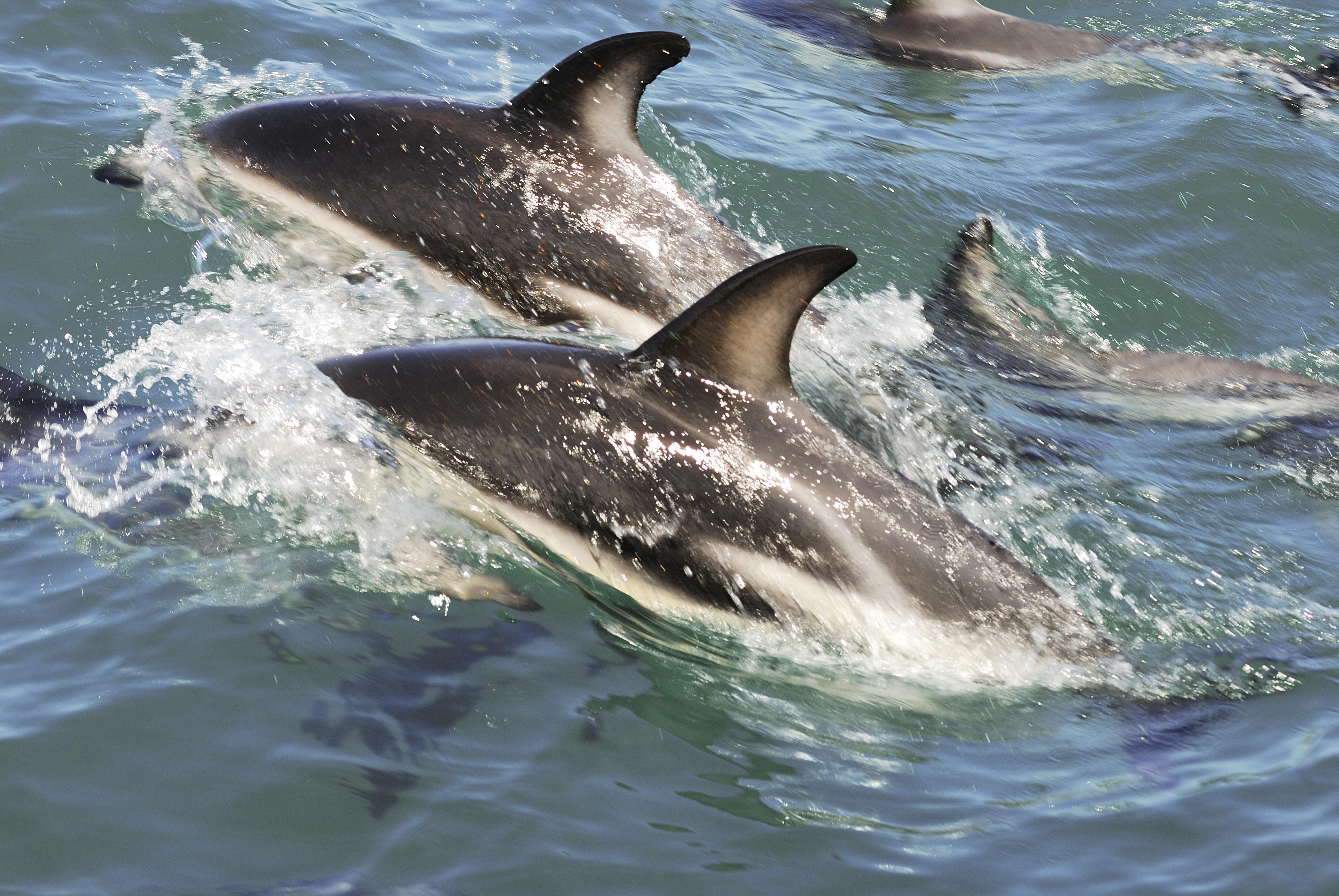 Dusky Dolphins.