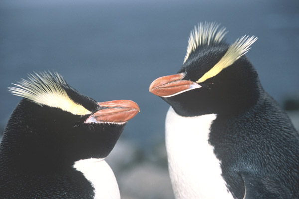 Erect Crested Penguin