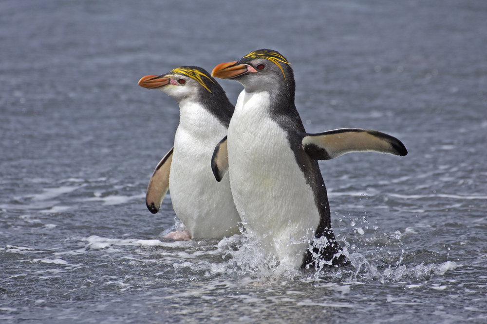 Royal Penguins.
