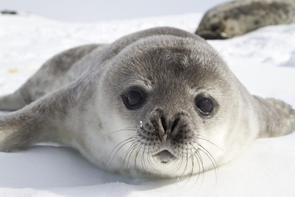 Weddell seal pups on the ice of the Antarctic Peninsula