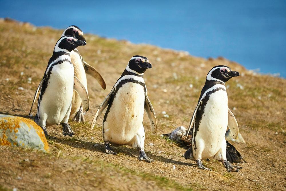Magellanic Penguin Species
