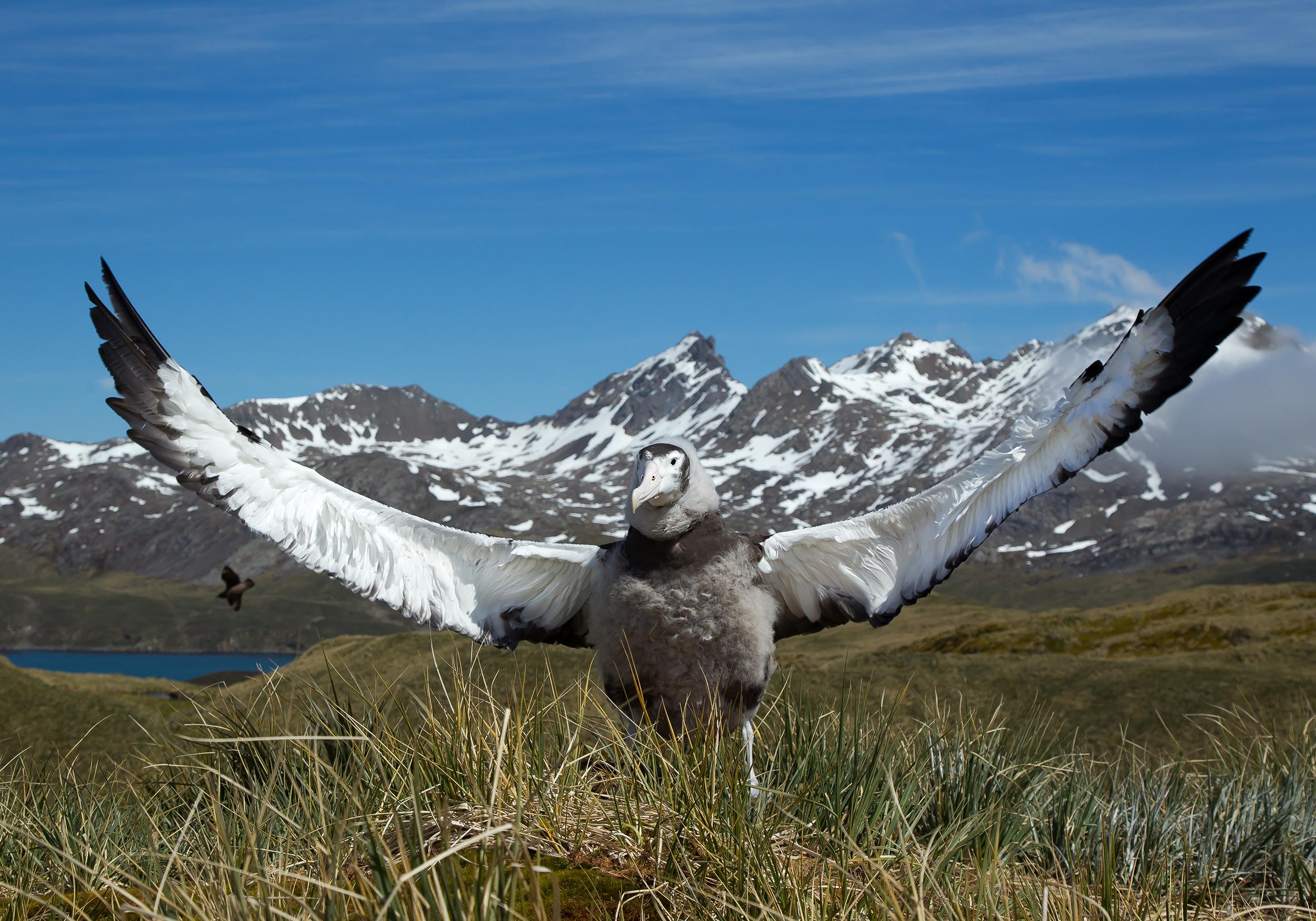 Young Wandering Albatross.