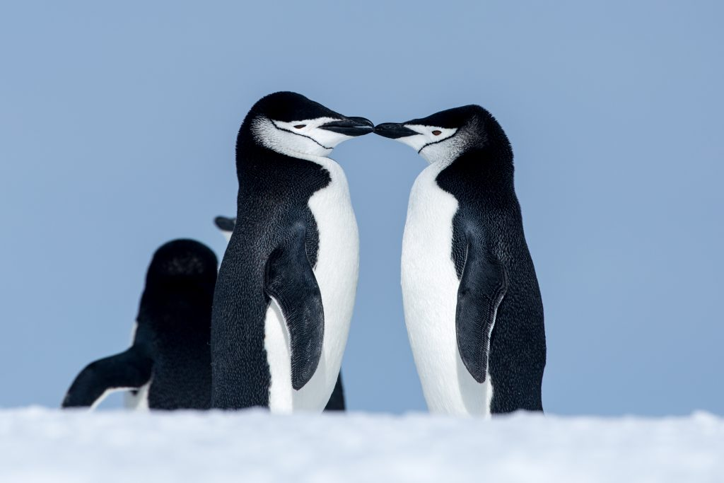 Chinstrap penguins in love, Antarctica