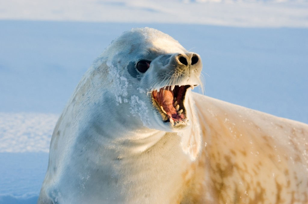 CRABEATER SEAL Wildlife