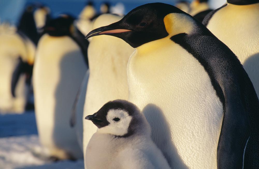 Emperor Pengiun in Antarctica