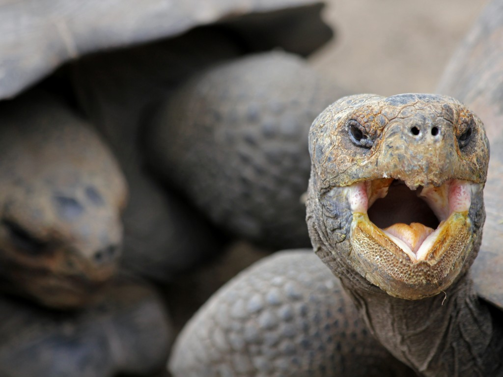 Wildlife in South America: Giant Tortoise with mouth open