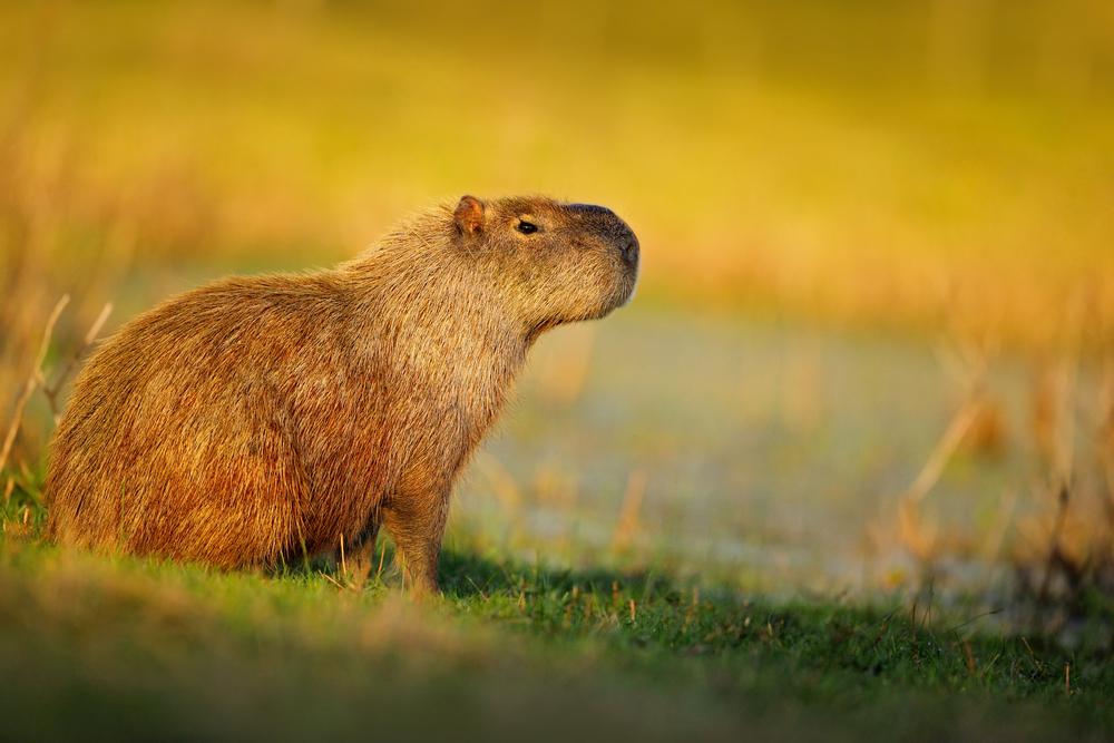 Capybara in South America