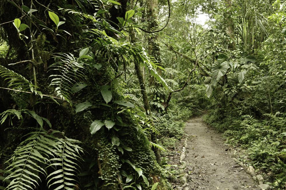 pathway through tropical rainforest Amazon