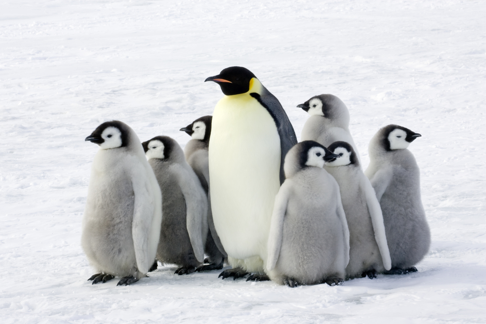 Emperor Penguin with baby penguins group Antarctica