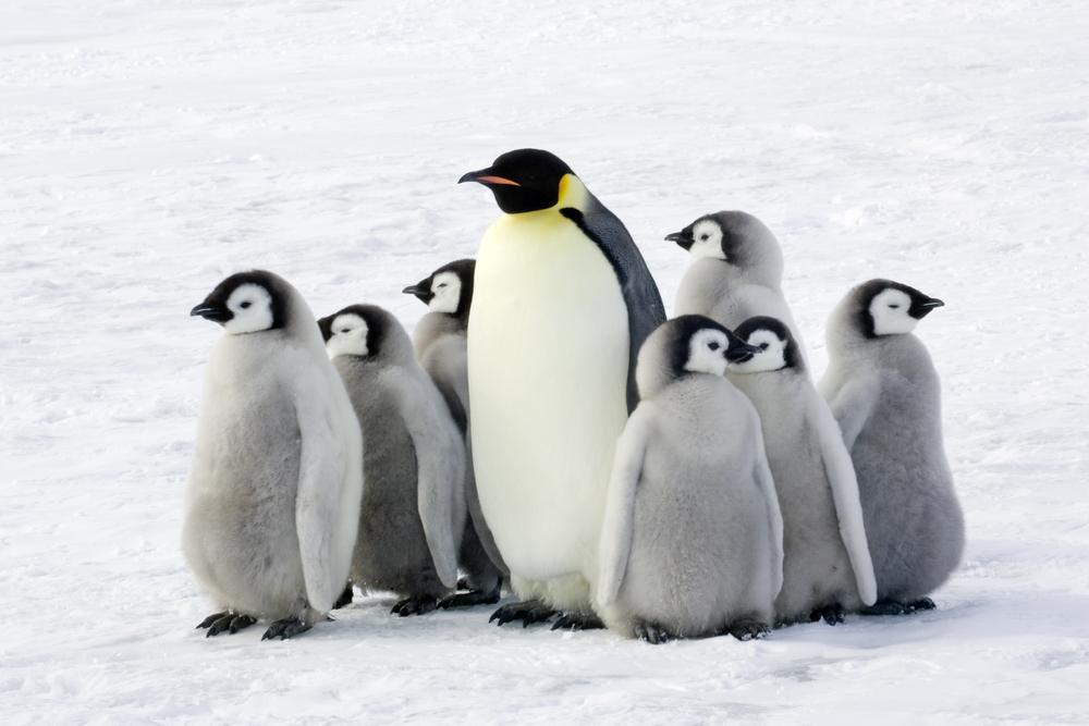 Emperor Penguin with baby penguins group Antarctica