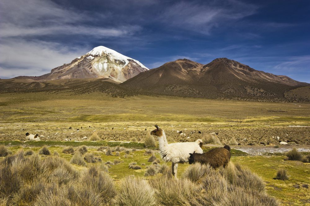 llamas in front of a volcano in Bolivia
