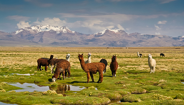 Llamas on grassy Bolivian altiplano with Andean volcanoes behind