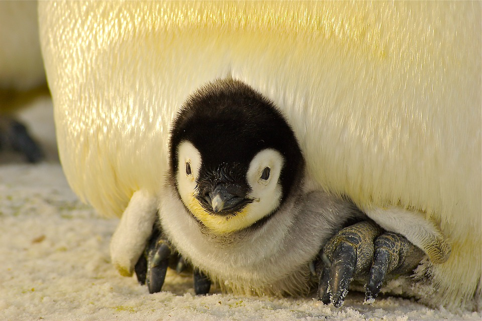 baby penguin under parents fur
