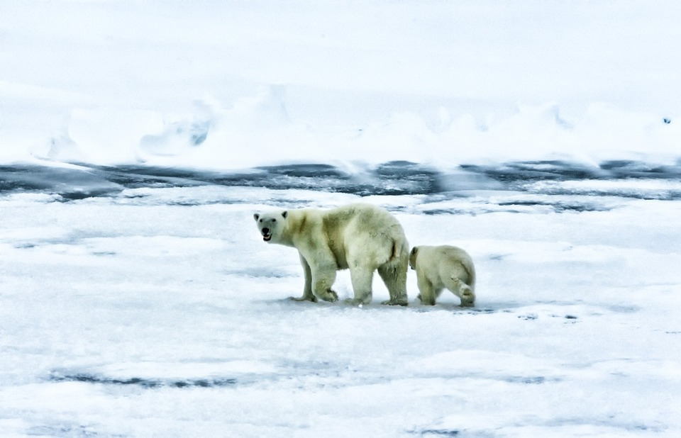 Polar bear mama and cub in the Arctic.